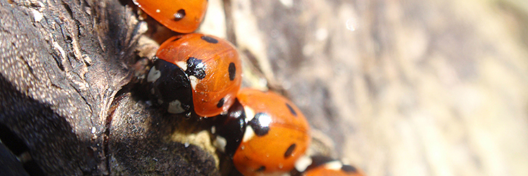 The ladybirds come into the sun, after a winter in their hiding place - March