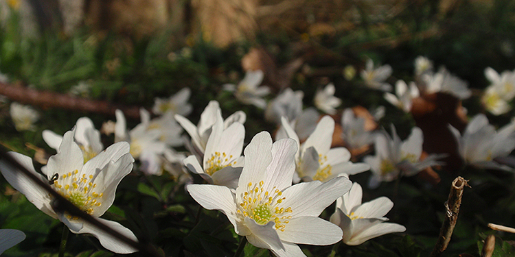 The anemones that are sure it's spring - April