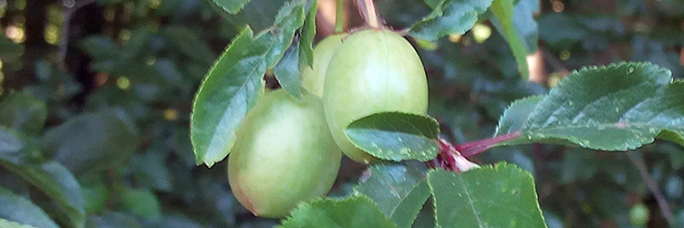 The plums start to show.