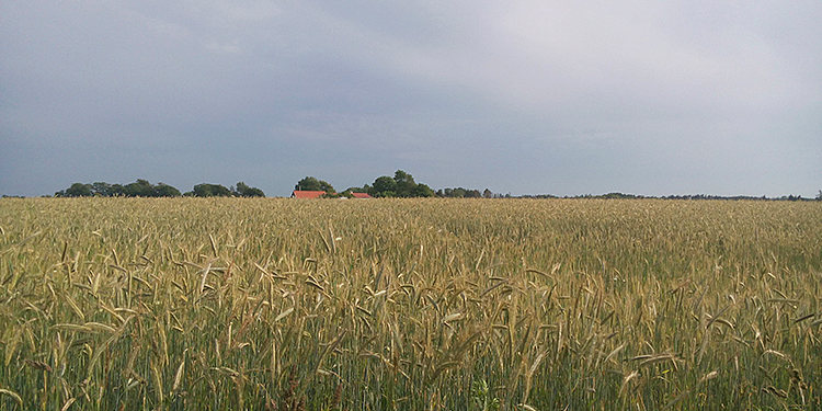 That's how we like to see Denmark, grain as far the eye can see - July.