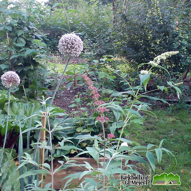 Leek and butterfly bush